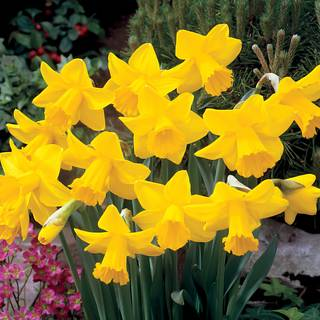 King Alfred Improved Daffodil