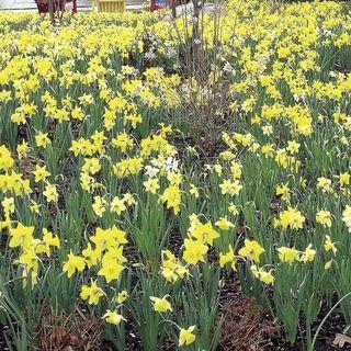 Narcissus Naturalizing Mix