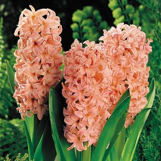 Hyacinth Gypsy Queen - Pack of 5 Image