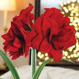 Merry Memories Amaryllis