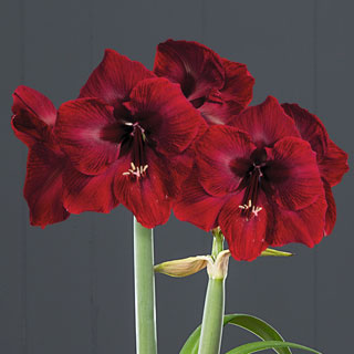 Rustic Holiday Amaryllis - Triple