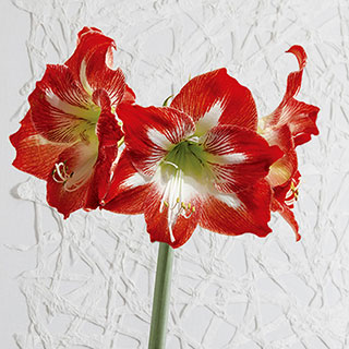 Christmas Magic Amaryllis - Single