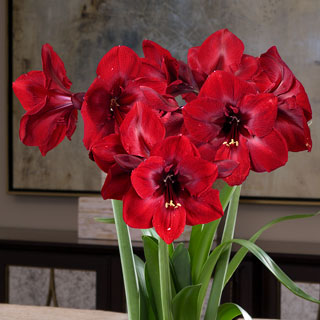Golden Grandeur Amaryllis - Triple