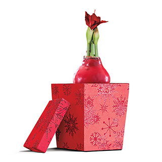 Gloss Red Waxed Amaryllis with Gift Box