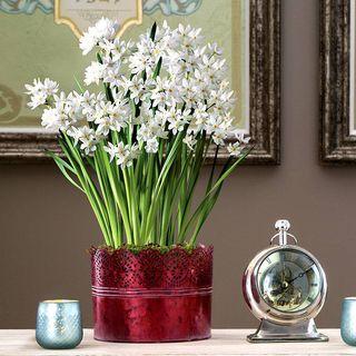 Lovely Good Tidings Paperwhites Bulb Garden