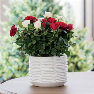 Rose gift plants live potted rose gifts from jackson perkins holiday splendor rose duet negle Choice Image