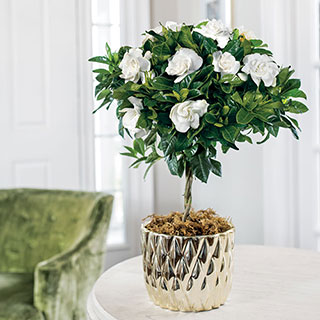 Starlight Gardenia Topiary
