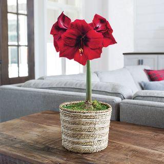 Radiant Red Amaryllis - Single