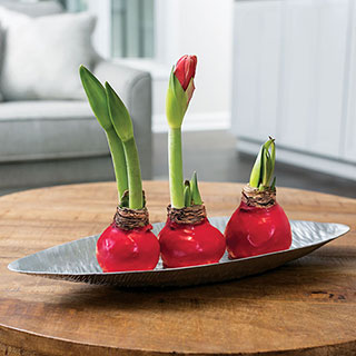 Ravishing Red Waxed Amaryllis Trio