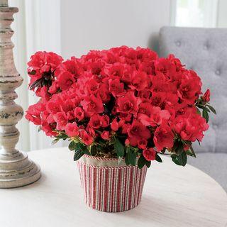 Ravishing Red Azalea