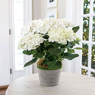 White Hydrangea in Grey Pot