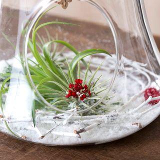 Christmas Bell Succulent