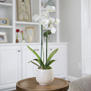 Peaceful White Orchid