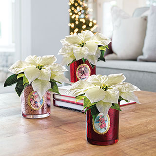 White Christmas Poinsettia Trio