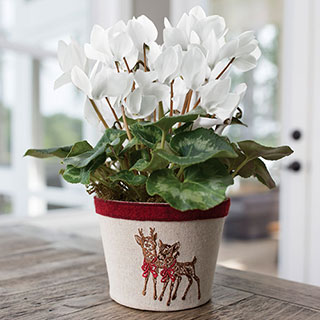 Frosty Flurries Cyclamen