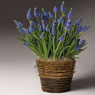 Blue Christmas Muscari