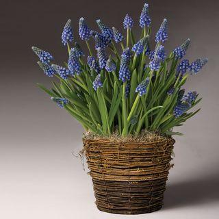Bountiful Blue Muscari