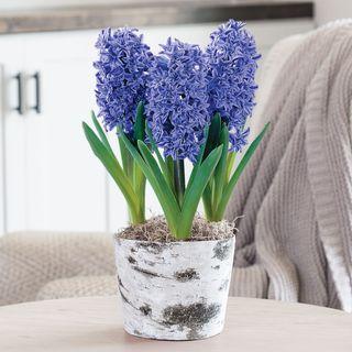 Cozy Christmas Hyacinths