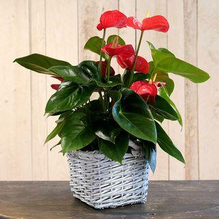 Red Anthurium in Basket