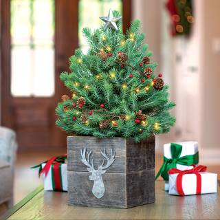 Images Of Christmas Trees.Tabletop Christmas Trees Live Decorated Jackson Perkins