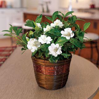 Good Tidings Gardenia