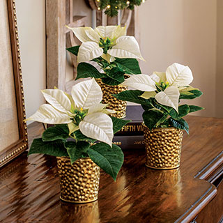 Golden Glow Poinsettia Trio
