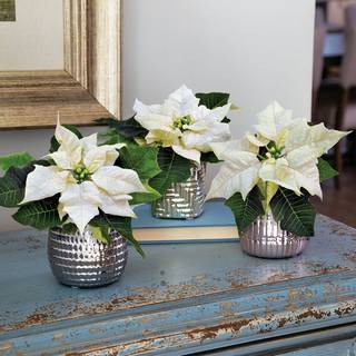 Elegant Dreams Poinsettia Trio - White