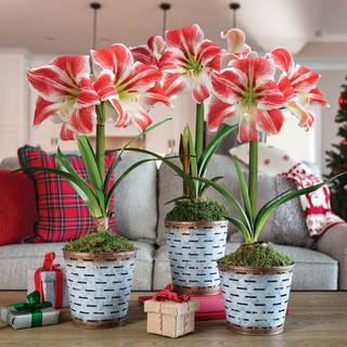 Sweet Treat Amaryllis - Set of 3