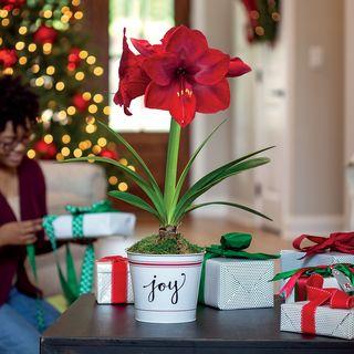 Joy of Christmas Amaryllis