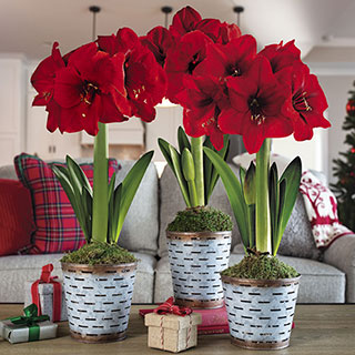 Deck the Halls Amaryllis - Set of 3