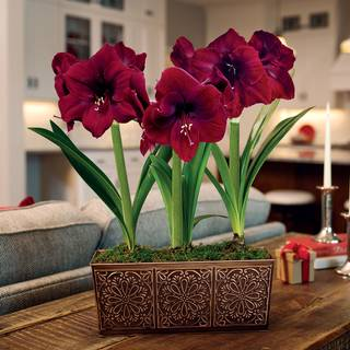 Yuletide Greetings Amaryllis - Triple
