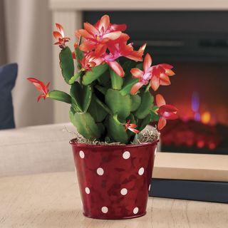 Delightful Christmas Cactus Image