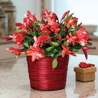 Basket of Cheer Christmas Cactus