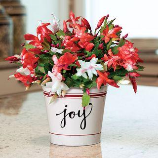 Joy of Christmas Cactus
