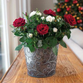 Holiday Splendor Rose Duet
