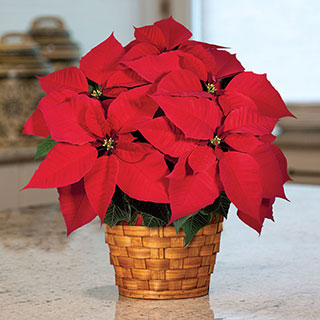 Winter Has Come Poinsettia