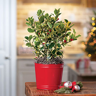 Jolly Holly Plant