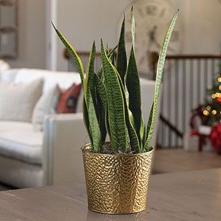 Golden Dreams Snake Plant