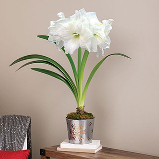 Snowflake Splendor Amaryllis - Single Image