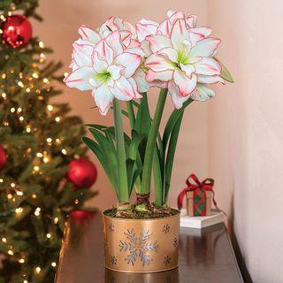 Festive Flurry Amaryllis - Triple Image