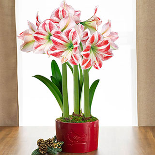 Cardinal Wishes Amaryllis - Triple Image