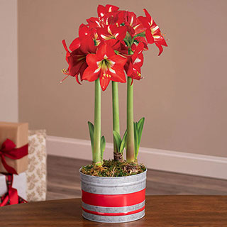 Home for Christmas Amaryllis Image