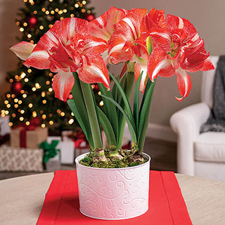 Joy of Christmas Amaryllis - Triple Image