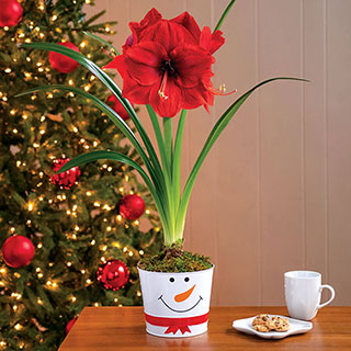 Let It Snow Amaryllis - Single Image