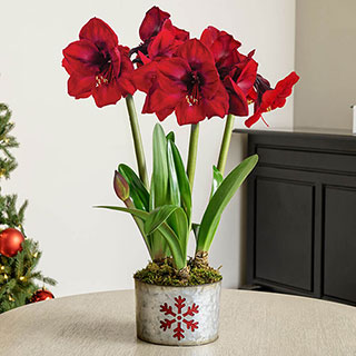 Winter's Warmth Amaryllis - Triple Image