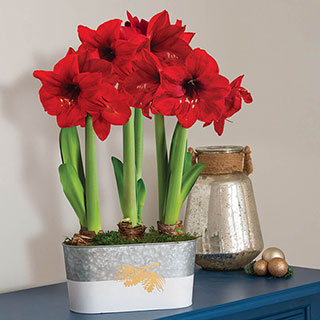 Winter Woods Amaryllis - Triple Image