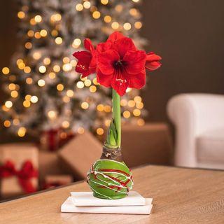 Green Swirl Waxed Amaryllis Image