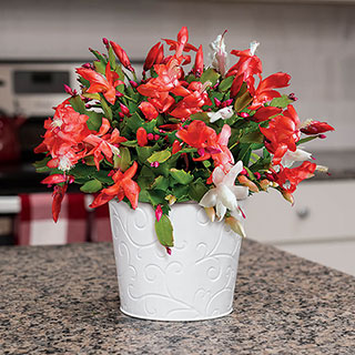 Joy of Christmas Cactus Image
