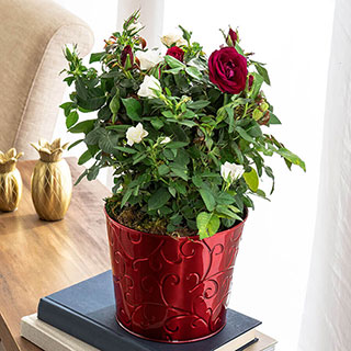 Holiday Splendor Rose Duet Image