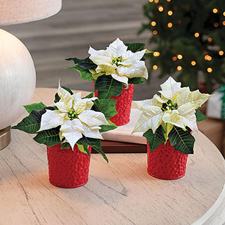 Merry & Bright Poinsettia Trio Image